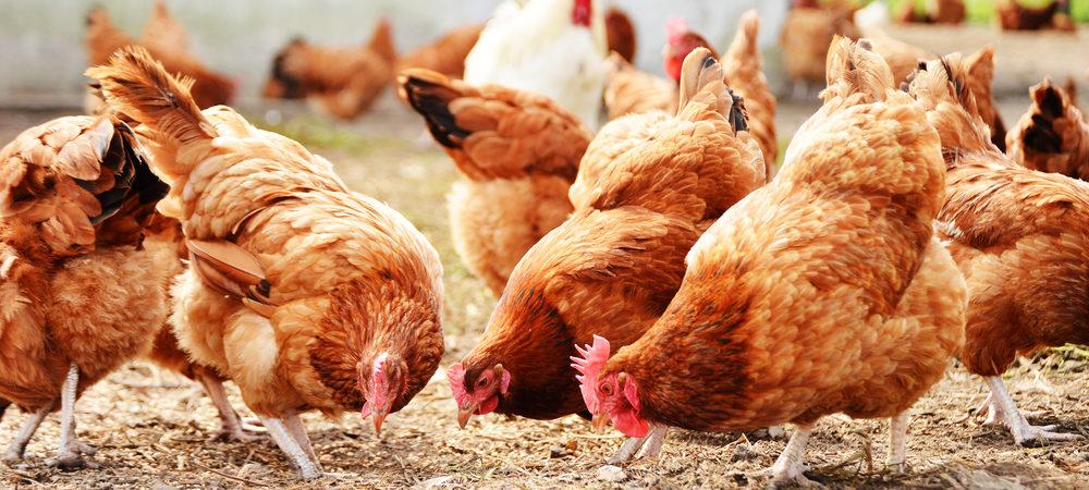 Poultry Sanitisation