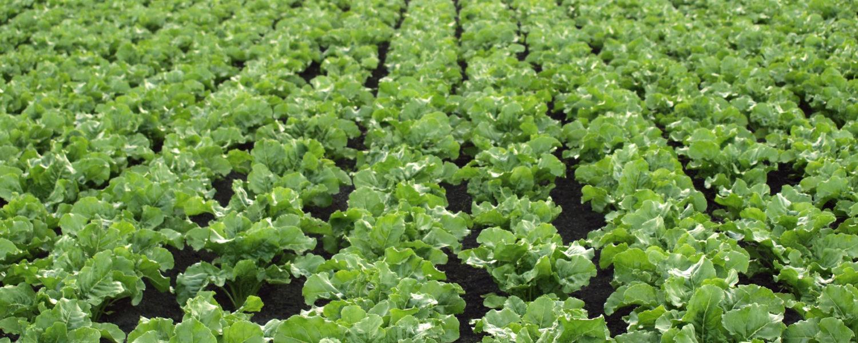 Sugar Beet Fertiliser